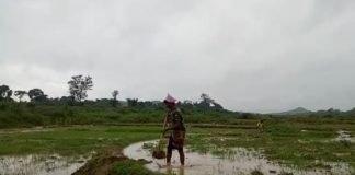 झारखंड में सरकारी आंकड़ों के मुताबिक इस बार 68 प्रतिशत धान Panchayat Times