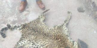 सोलन में पुलिस ने एक व्यक्ति के घर से चीते की खाल बरामद - Panchayat Times