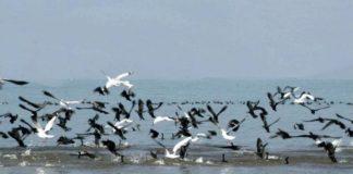 विदेशी परिंदों से गुलजार हुई पौंग झील-Panchayat Times